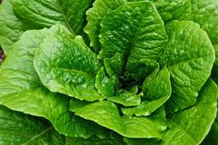 Green leafy head of romaine lettuce in a garden Stock Photos