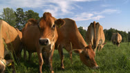 Stock Video Footage of cows 13 HD