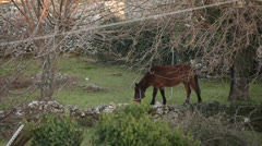Croatia, Gromaca Village, Horse Feeds Under Leafless Tree Near Stonewall Stock Footage