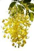 Flowering cassia Stock Photos