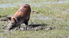 Little pig in a mud Stock Footage
