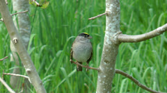 Yellow crowned sparrow Stock Footage