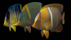 Three Swimming Angelfish Stock Footage