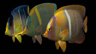 Stock Video Footage of Three Swimming Angelfish