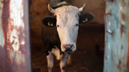 Stock Video Footage of Croatia, Gromaca Village, Cow Frontal Face with Horns and Tagged Ears