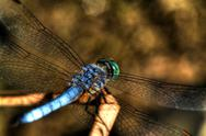 Stock Photo of blue dragonfly