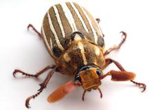 June beetle Stock Photos