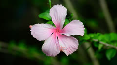 hibiscus flower in the wind - stock footage