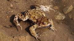 European toad (Bufo bufo) in lake Stock Footage