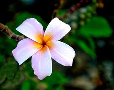 The frangipani flower - stock photo