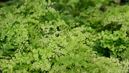 Stock Video Footage of Green fern in the wind