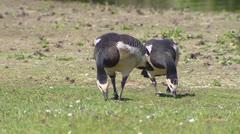 Pair of Barnacle goose  (Branta leucopsis) foraging Stock Footage