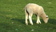 Lamb grazing on meadow Stock Footage