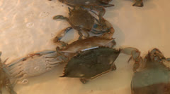 blue crab moulting HD - stock footage