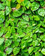 creeping fig on wall - stock photo