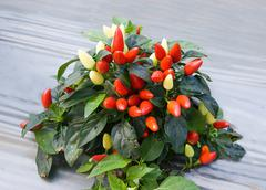 colorful of chili - stock photo