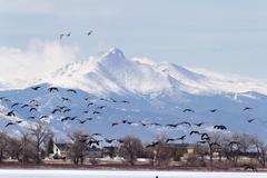 Geese migration Stock Photos