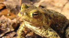Common toad - sunbathing Stock Footage