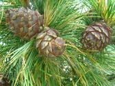 Stock Photo of Cone of Siberian pine