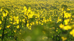 Field of rapeseed blooms Stock Footage