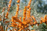 Stock Photo of sea-buckthorn