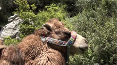 Camel chewing grass Stock Footage