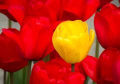 Outstanding Yellow Tulip Flower - stock photo