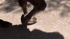 Forefeet of camel walking audio 2 Stock Footage