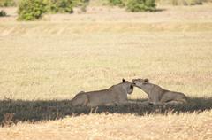 Animals in Tsavo East/West and Amboseli National Park Kenya - stock photo