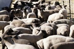 Baby lambs Stock Photos
