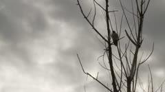 Hawk In Tree Time Lapse - stock footage