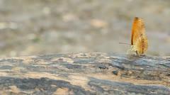 Common leopard butterfly (Phalnta phalnta phalnfa Drury) resting on a wood Stock Footage