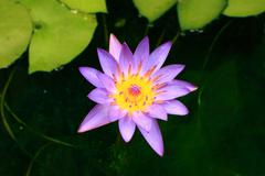 little bloom lotus in shade pond - stock photo