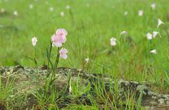 Pink field of Caulokaempferia thailandica. - stock photo