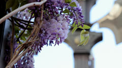 Climbing Wisteria Plant with Weather Vane in Background 1080p - stock footage