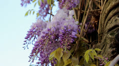 Wisteria Flowers Blooming in Spring Season 1920x1080 Stock Footage