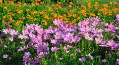 Multi field of daises flowers. Stock Photos