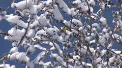 Yellow Bird on Snow Branches in the Breeze Stock Footage