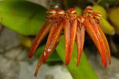 bulbophyllum picturatum in rainforest. - stock photo