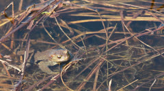 Ccommon toad (Bufo bufo) in early spring Stock Footage