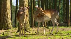 Fallow Deer (cervus dama) 2 does - grooming Stock Footage