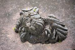 remainder feces wild gaur on rock in national park, Thailand. - stock photo