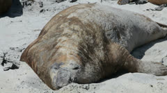 Elephant Seal, Falkland Islands Stock Footage