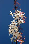 Cassia bakeriana craib in sunny day ,thailand. Stock Photos