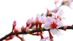 Pink cherry flowers blooming in springtime Stock Footage