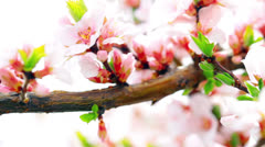 pink cherry flowers blooming in springtime - stock footage