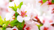 Stock Video Footage of pink cherry flowers blooming in springtime