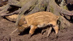 European wild boar piglet (sus scrofa) scrubs against stump Stock Footage