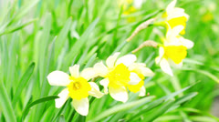 Narcissus in the green grass Stock Footage