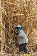 the planter harvested sugarcane. - stock photo